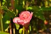 Rose de porcelaine du Jardin des 1001 saveurs