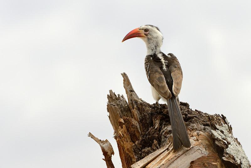 Red-billed-Hornbill-01.jpg