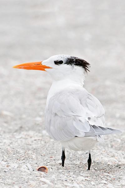 Tern - Royal - Blind Pass - Sanibel Island, FL - 04