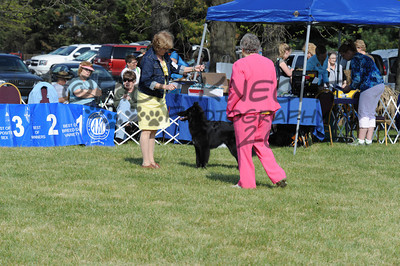 Friday Belgian Sheepdog Dogs: In The Ring