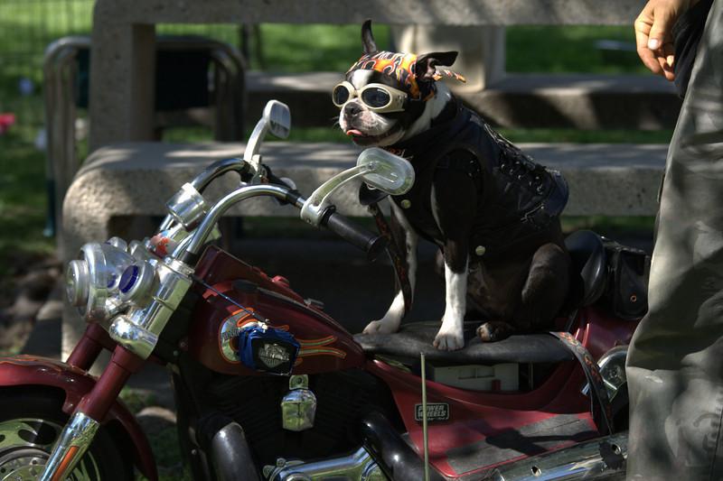 boston terrier oct 2010 197.jpg