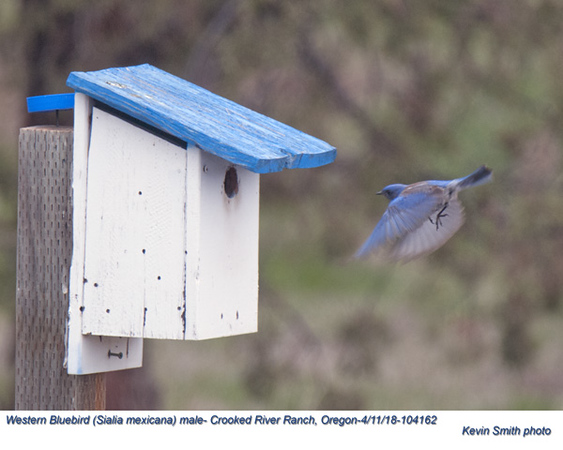 Western Bluebird M104162.jpg