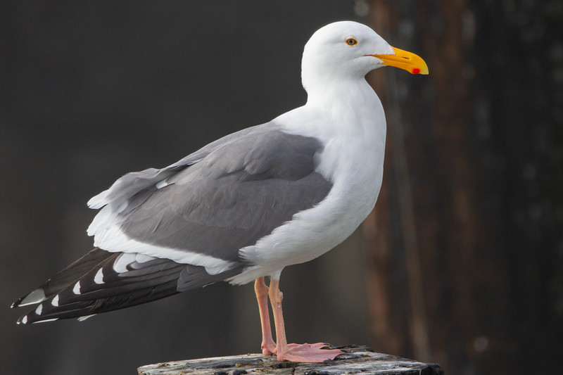 Western Gull - Richmond, CA, USA