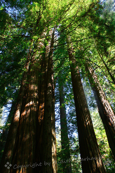 Among the Redwoods ~ This shot looking up among the redwood trees was at Jedediah Smith State Park.  Being a little more inland, we had blue sky!  It was lovely seeing the blue through the green needles, the sun dappling the redwood trunks.