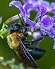 California or Eastern Carpenter Bee