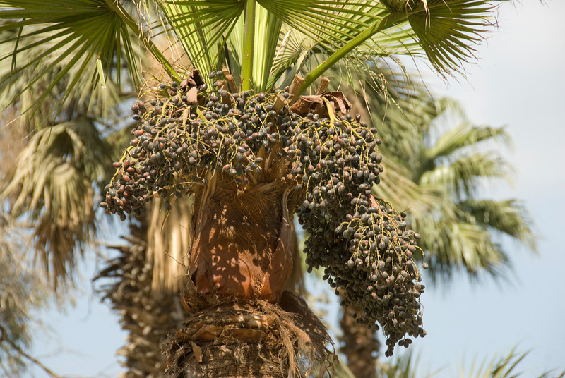 Dates on palm tree at a botanical garden - Cairo, Egypt