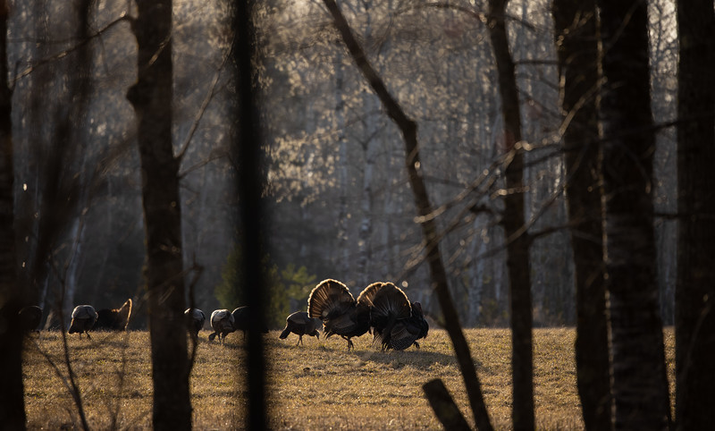 Wild Turkey flock displaying male toms courtship Skogstjarna Carlton County MN  IMGC5675.jpg