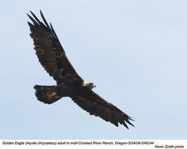 Golden EagleADNG44.jpg