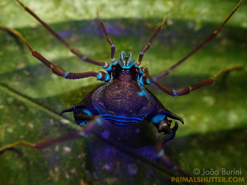Harvestman with blue fluorescence in ultraviolet