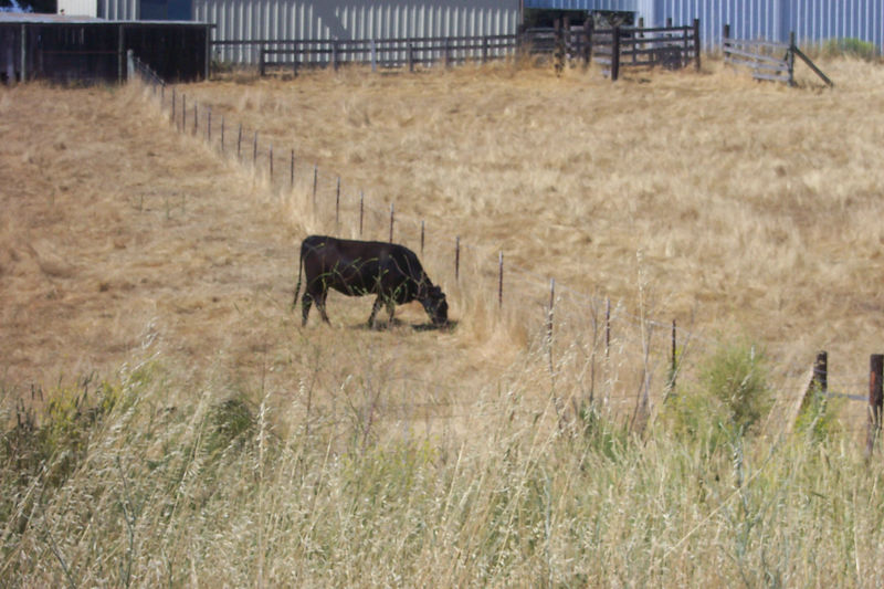 cow in paso robles.jpg