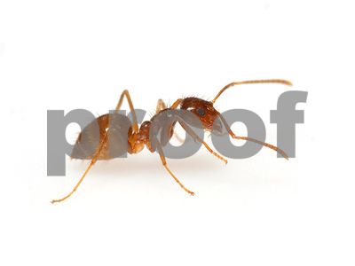 the-ongoing-invasion-of-texas-by-the-rasberry-crazy-ants-destroying-electronics-in-swarms