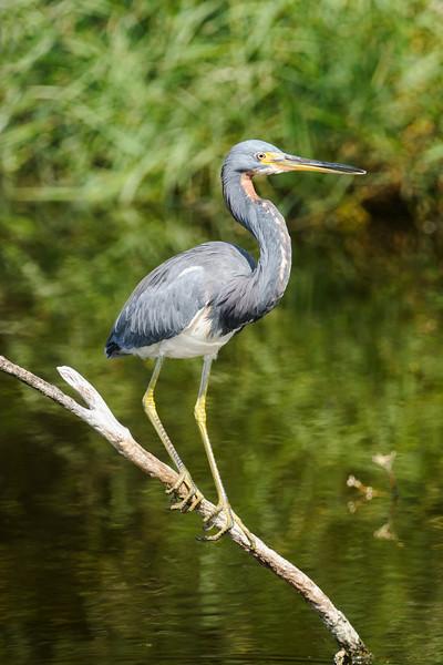 Heron - Tri-colored - Egans Creek Greenway - Amelia Island, FL