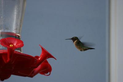 Hummingbirds 2007