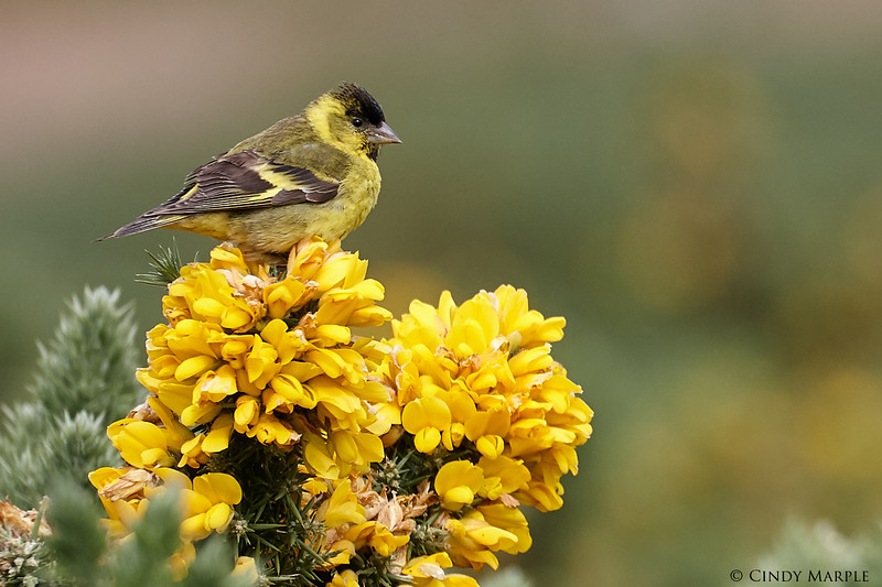 Black-chinned_Siskin_1.jpg
