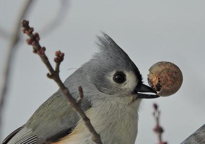Backyard Birds - Lincoln County, Mo.