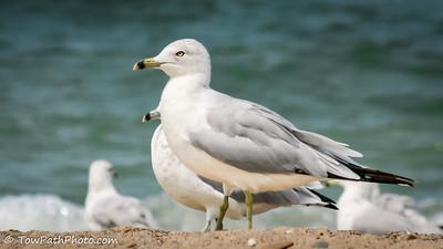 Gull & Turn