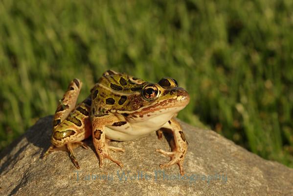 Frog, Leopard