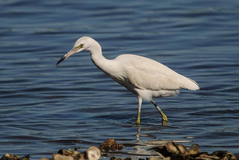 Heron - Little Blue - juvenile - Betz-Tiger Creek Preserve State Park - Jacksonville, FL