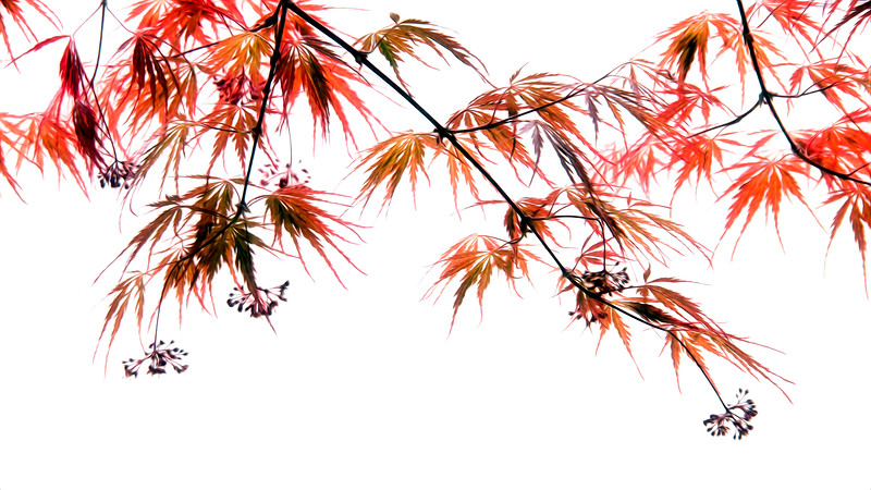 japanese red maple_31278-pixel bender.jpg