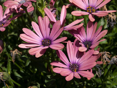 Osteospermum - Serenity Rose Magic
