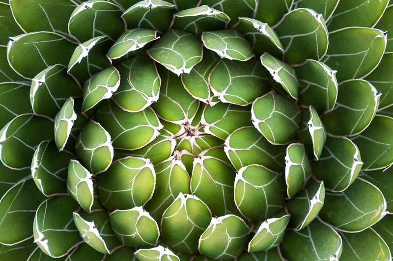 Closeup of a succulent in a cactus garden, Cabo San Lucas, Mexico