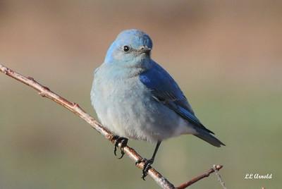 Rare In Ohio - Mountain Bluebird