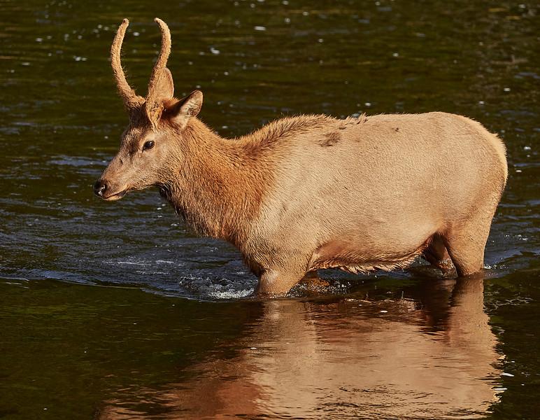 Young Male Elk crossing