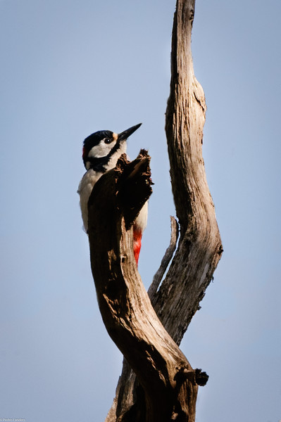 Woodpecker and Dead Tree