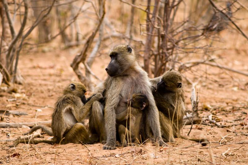 baboon (4).jpg