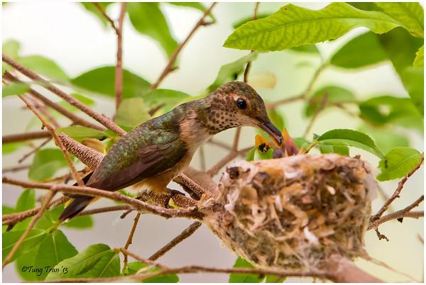 Hummingbird's feeding