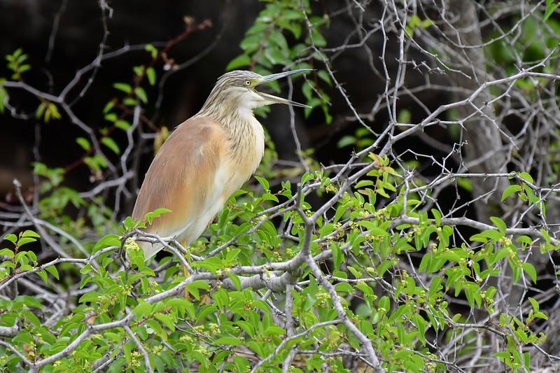 Squacco Heron Calling
