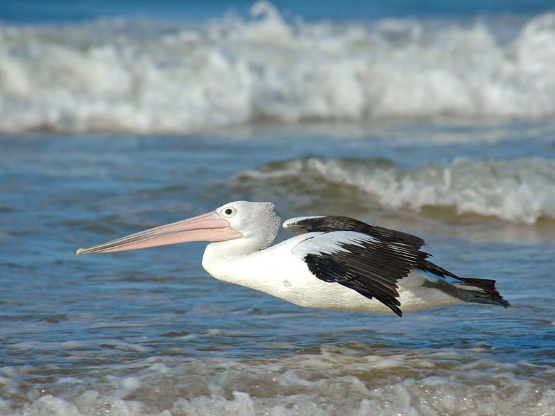 Pelican Skimming.jpg