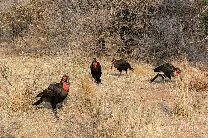 Three adult and a juvenile Souther ground hornbills, Mabuls Ground Hornbill Project, South Africa.jpg