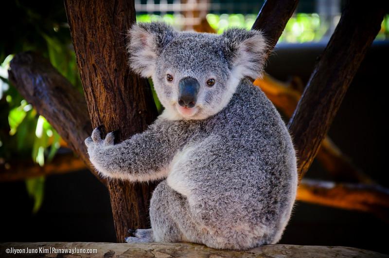 Australia-Queensland-Brisbane-Koala-3218.jpg