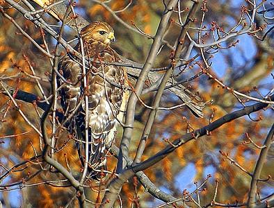Hawk Shots 22