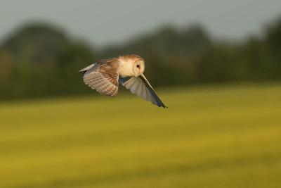 The Local Barn Owl