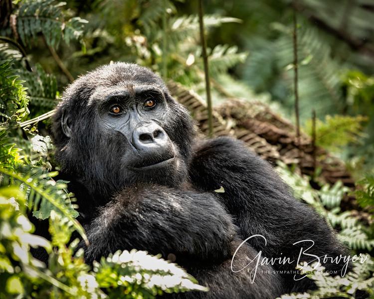 gorillas web-11.jpg
