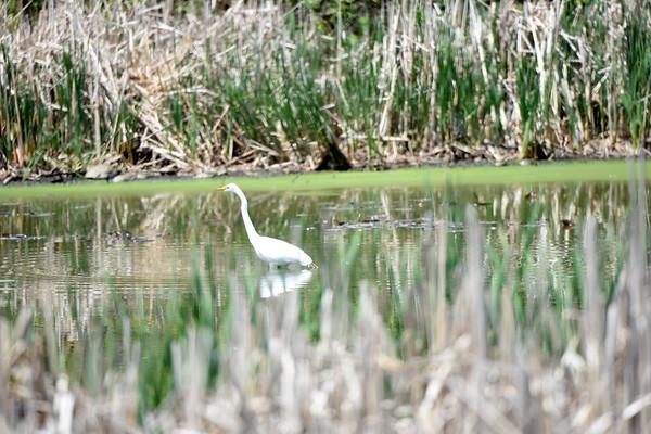 Birding Capisic Pond 5-25-16