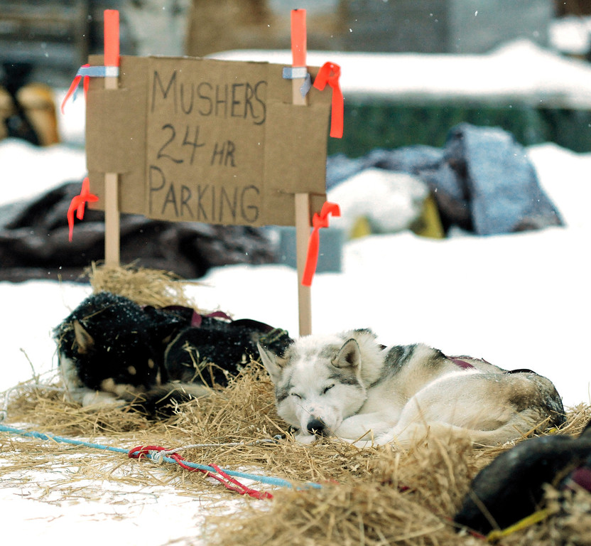 . Aaron Burmeister\'s sled dogs rest at the Nikolai checkpoint during the 2014 Iditarod Trail Sled Dog Race on Tuesday, March 4, 2014. Burmeister injured his knee about 18 miles past the Rohn checkpoint on the snowless Farewell Burn. His knee popped out and he had to tape it up so it would stay in place.  (AP Photo/The Anchorage Daily News, Bill Hallinen)