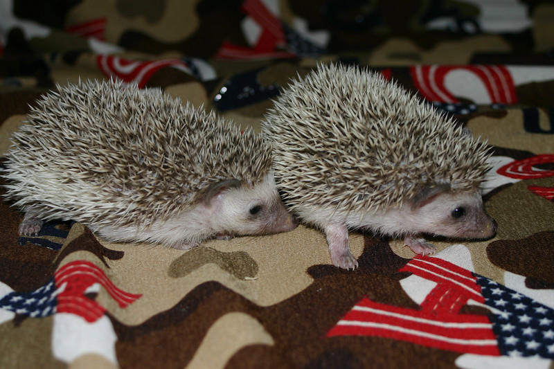 Litter - SCSI and Orianna (02/03/2005)  Litter - SCSI and Orianna (02/03/2005)  Filename reference: 20050306-235744-HAH-Hedgehog_Babies