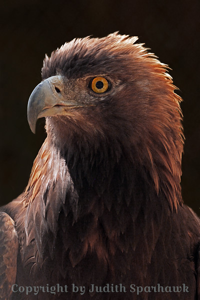 Golden Eagle Portrait ~ This photograph of a Golden Eagle shows the golden head and neck feathers from which it got its name.