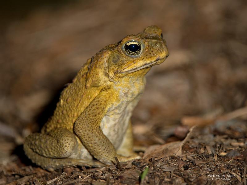 Cane Toad, Julatten, QLD, Dec 2014-1.jpg
