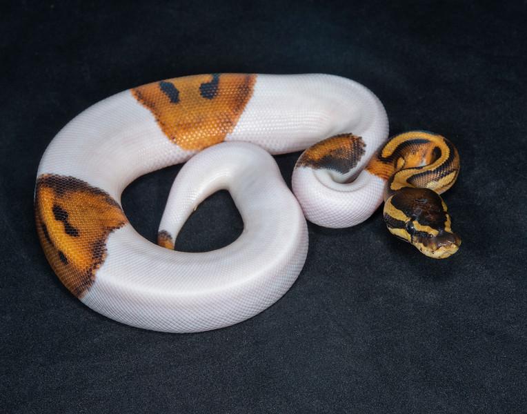 B2180, Male Piebald Het Albino
