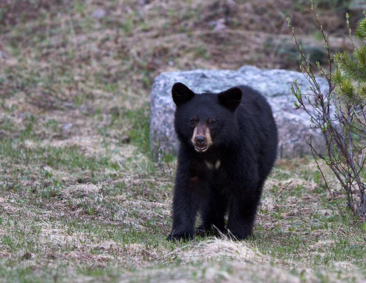 Black Bear - Jasper
