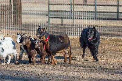 AHBA Ranch Dog Christmas Trials 2017