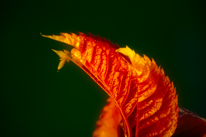 February 7 - Winter leaf will turn into a spring rose.jpg