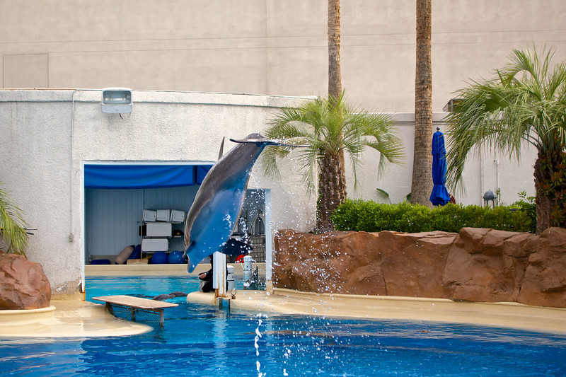 Dolphin at the Secret Garden at the Mirage Hotel and Casino.