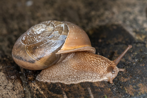 Land snails, Family Polygyridae