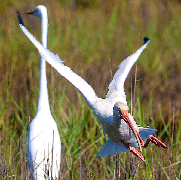 Not to be outdone, this White Ibis makes another fancy arrival ...