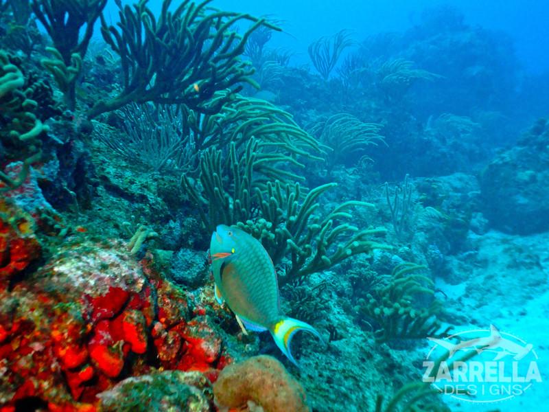 """""""Parrotfish"""" (Fishbowl Reef, St. Maarten)"""